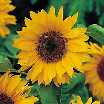 Verve Sunflower Seeds, American Giant Mix