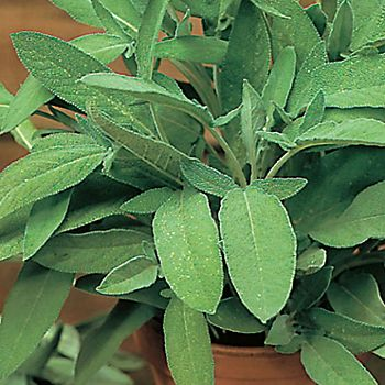 Common sage in a pot