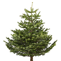 Small Nordman Fir Cut Christmas Tree