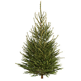 Medium Norway Spruce Cut Christmas Tree