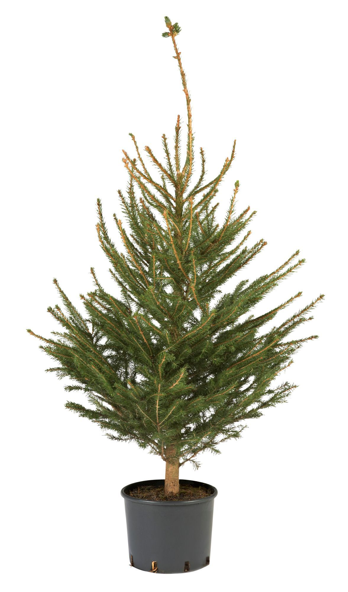 Large Norway Spruce Real Christmas Tree Departments