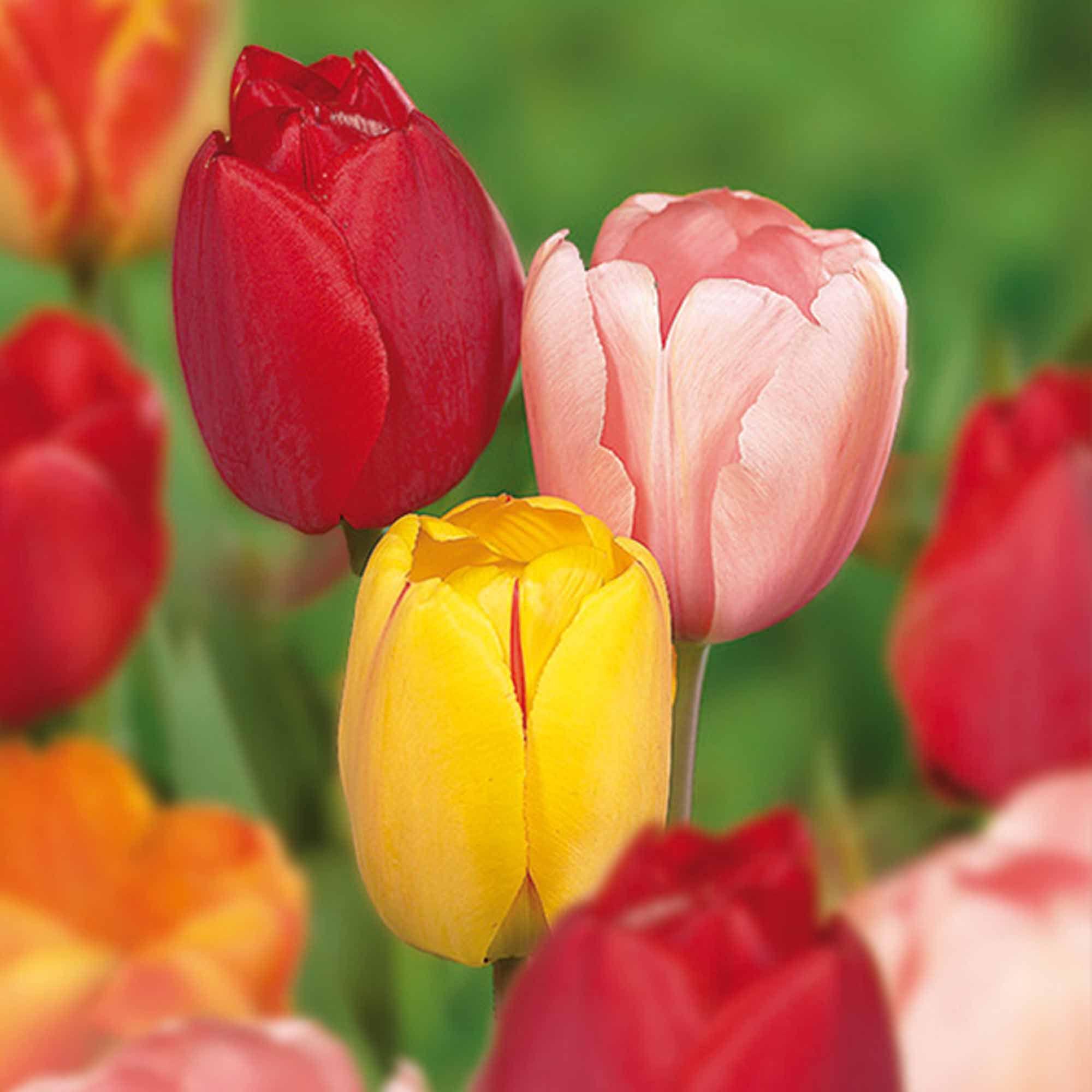 Leather jacket killer b&q - Tulip Darwin Hybrid Mixed Bulbs