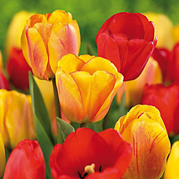 Tulips Apeldoorn Mix Bulbs