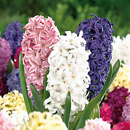 Hyacinths Spring Collection Bulbs