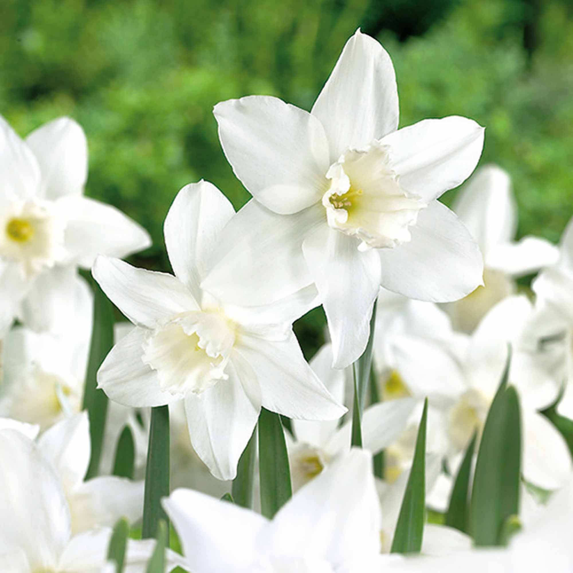 Image result for Narcissus 'Tresamble'