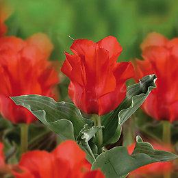 Tulip Red Riding Hood Bulbs