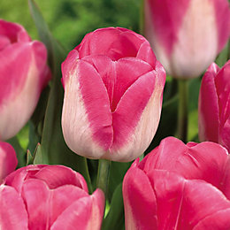 Tulip Innuendo Bulbs