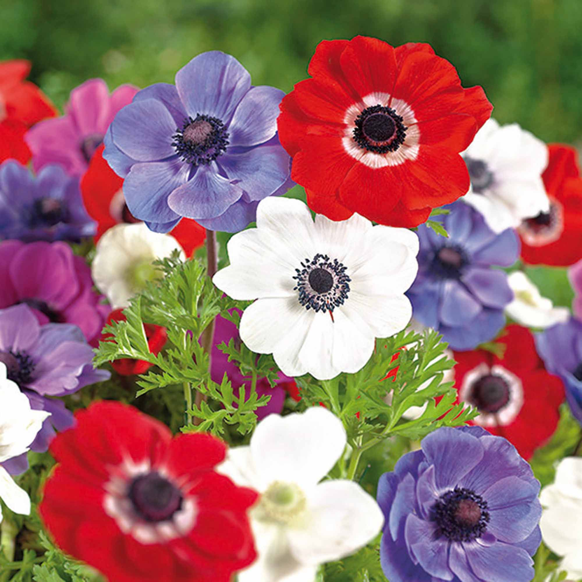 Anemone De Caen Mixed Bulbs Departments Diy At B Amp Q