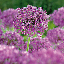 Alliums Purple Sensation Bulbs