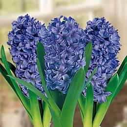 Hyacinths Delft Blue Bulbs