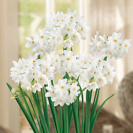 Narcissi Paperwhite Ziva Bulbs