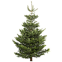 Extra Large Nordman Fir Cut Christmas Tree
