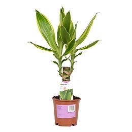 Verve Dragon Tree In Plastic Pot