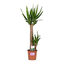 Verve Yucca In Plastic Pot