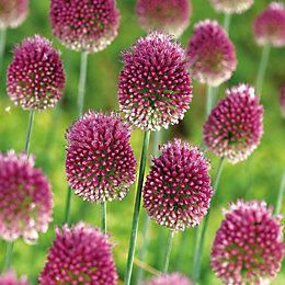 Allium Sphaerocephalon Bulbs