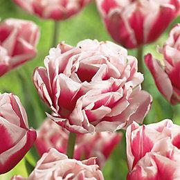 Tulipa Double Wirosa Bulbs