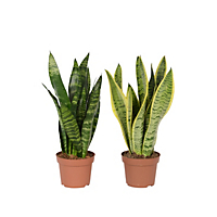 Sansevieria Mother-in-Law's Tongue houseplant