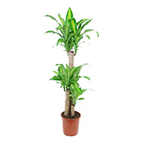 Dragon tree houseplant