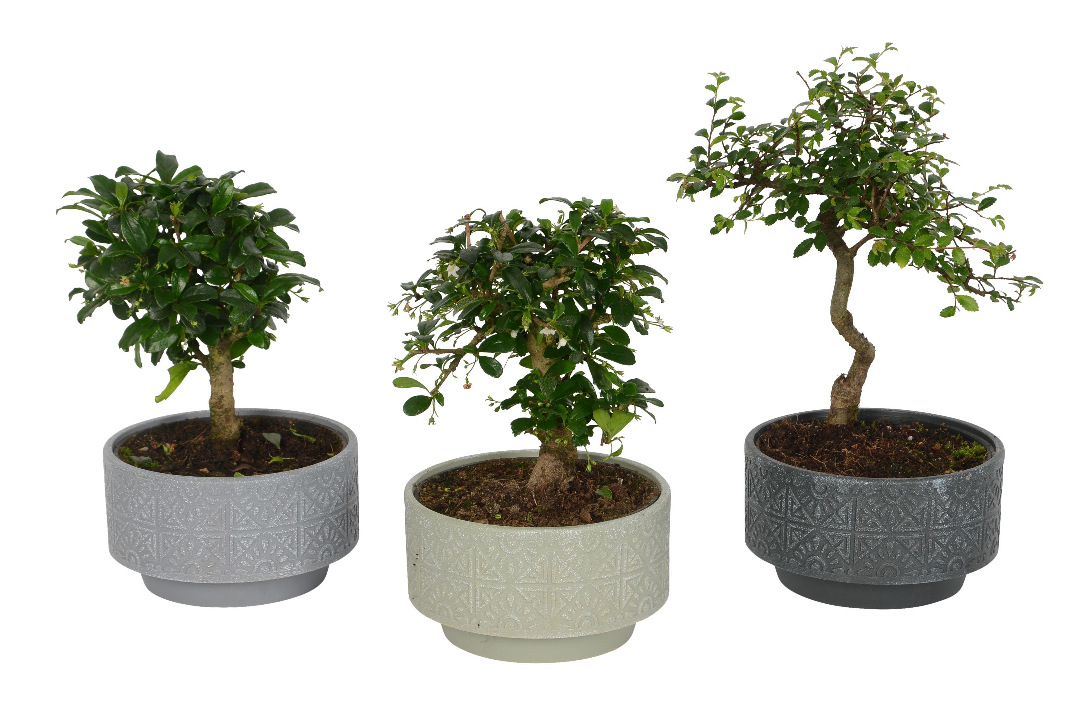 b&q bonsai