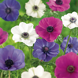 Anemone Mixed Bulbs