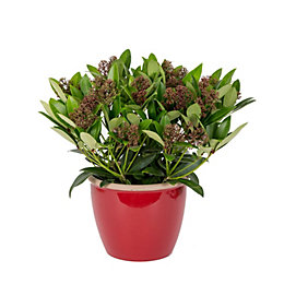 Skimmia Plant In Red Pot