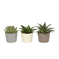 Succulents houseplant