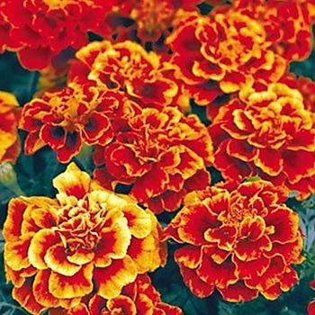 summer bedding - French marigolds