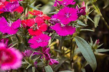 Petunias in flower beds