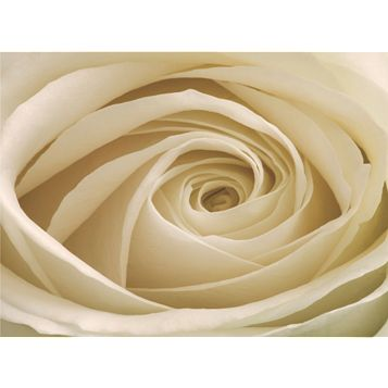 Cream Rose Flower Wallpaper Mural