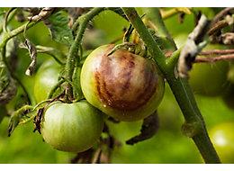 Tomato and potato blight