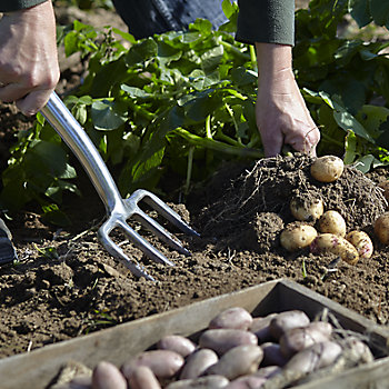 a vegetable patch with potatoes being pulled from it