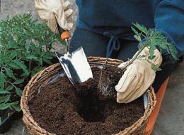 Transferring tomato plant to pot