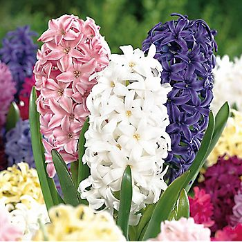 multi-coloured hyacinths