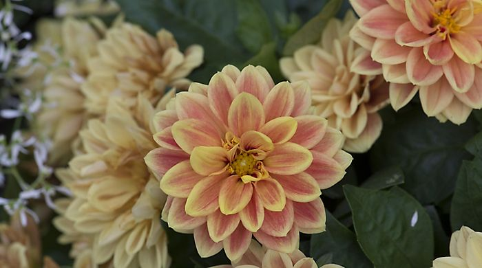 """dahlia bedding plants"""