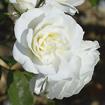 White roses in the garden