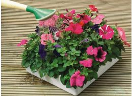 Watering bedding tray of plants
