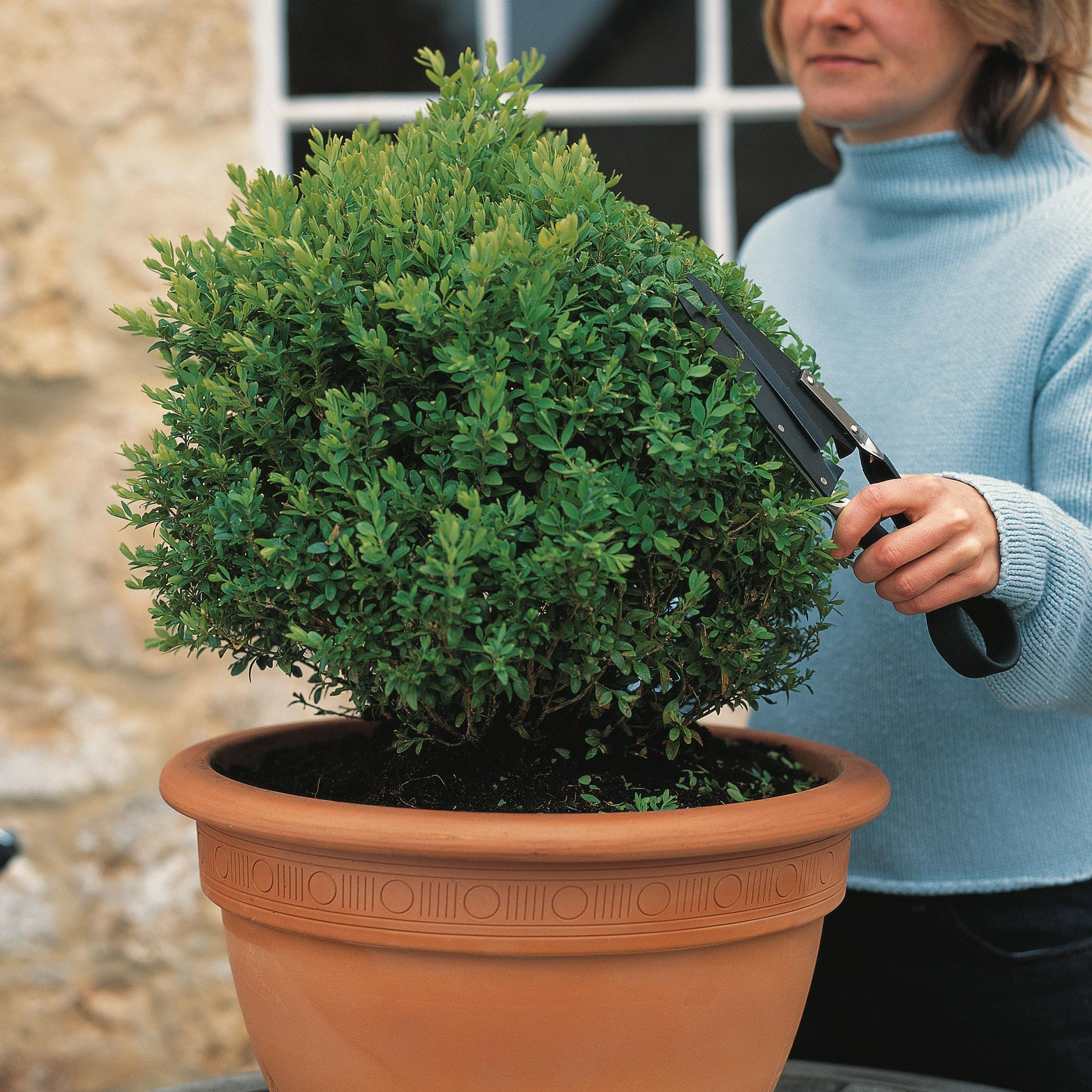 woman pruning pot-bound shrub