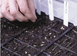 Sowing the seeds in compost