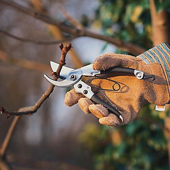 using secateurs to prune tree branches