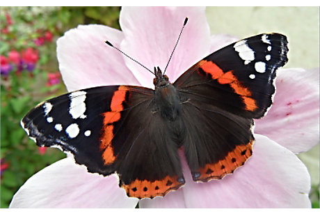 Red Admiral. A.Cooper Butterfly Conservation