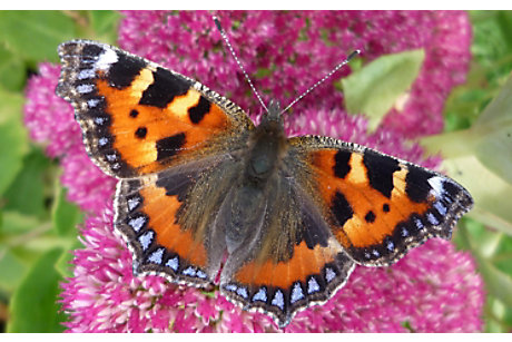 Small Tortoiseshell: M.Warren Butterfly Conservation