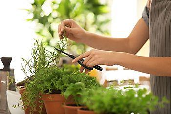 cutting herbs
