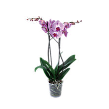 Image for Orchid Mother's Day offer