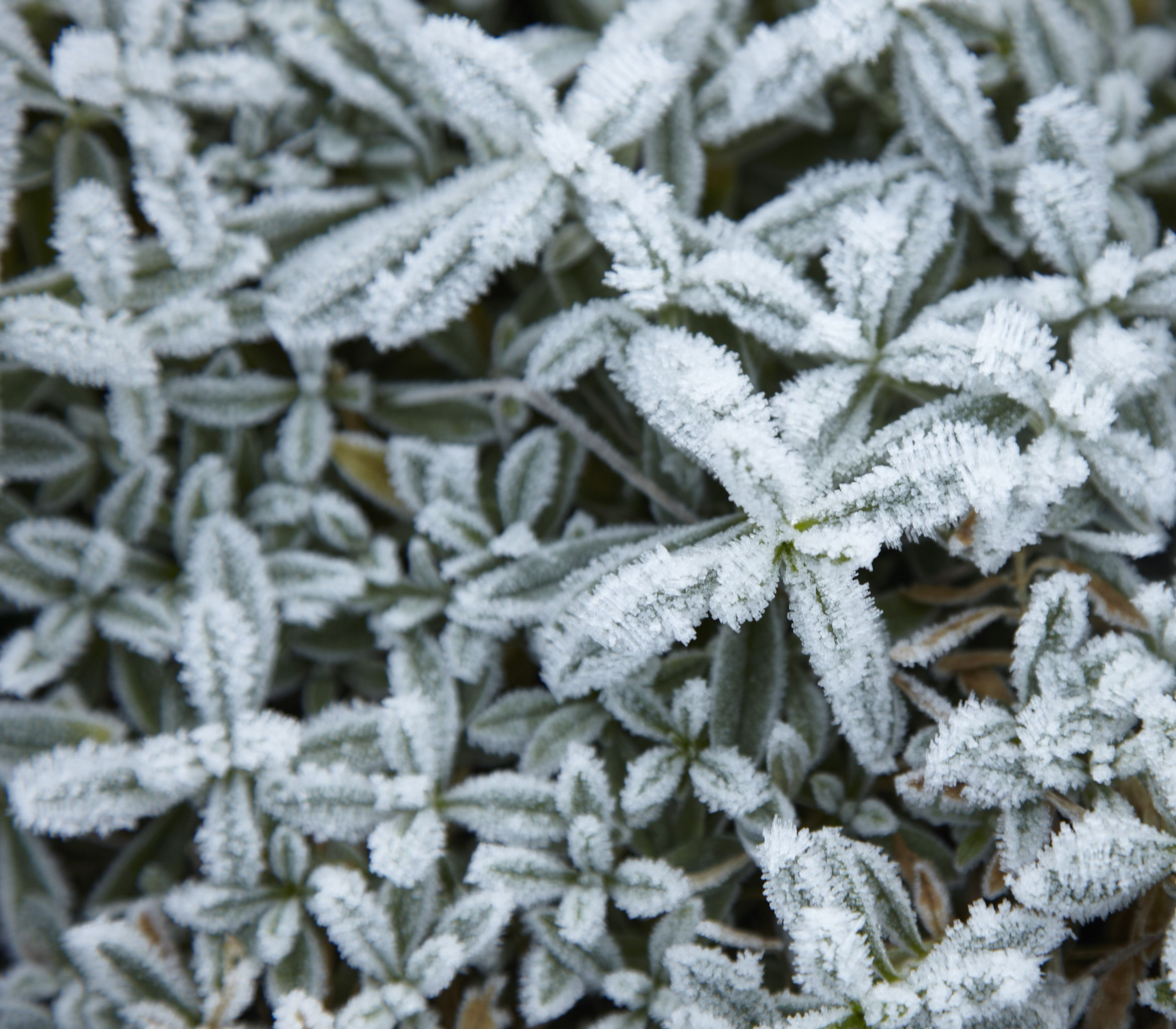 Frosted Leaves In A Flowerbed