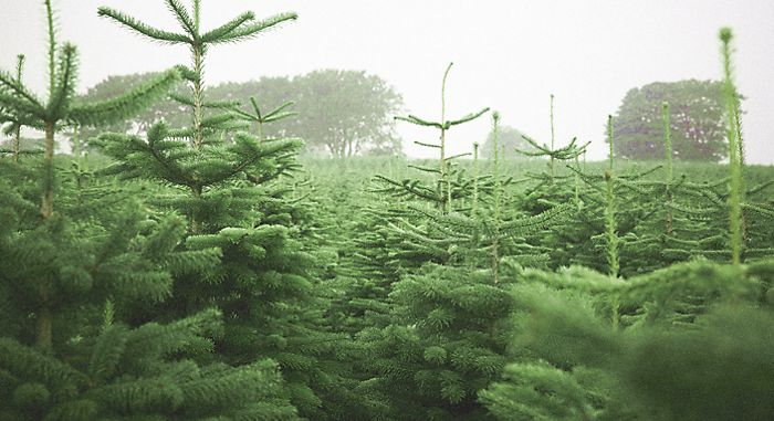 Real Christmas tree foliage