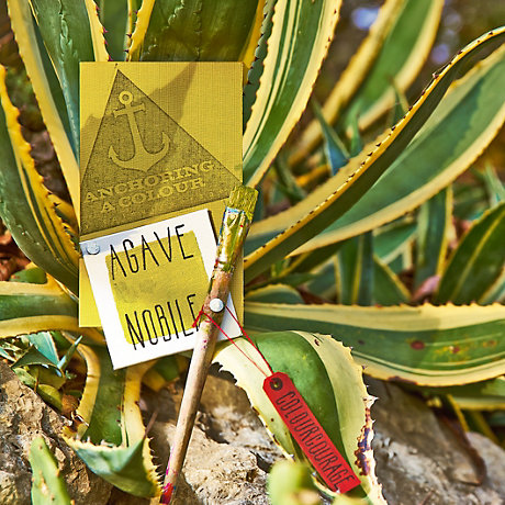 Image of Agave Nobile colour