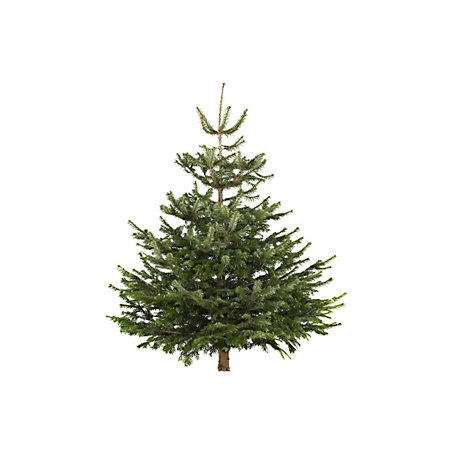 medium nordman fir cut tree departments diy at b q