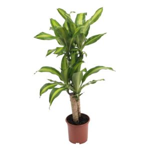 View B&Q Dragon Tree In Plant Pot details