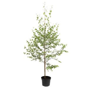 View Betula Youngii Ornamental Tree (H)6M details