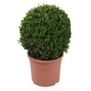 View B&Q Box Ball Hedge In Plant Pot details